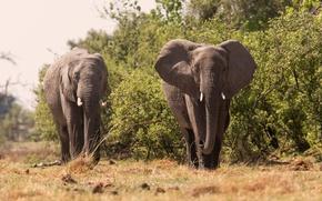 Картинка слон, большой, красивый, хобот