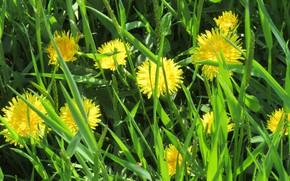 Картинка трава, луг, одуванчики, апрель, весна 2018, Meduzanol ©
