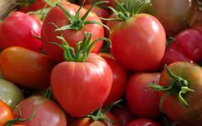 Картинка осень, урожай, овощи, помидоры, сентябрь, огород, множество, красный цвет
