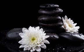 Картинка цветок, капли, камни, спа, хризантема