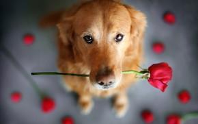 Обои цветок, взгляд, животное, роза, собака, пёс, ретривер