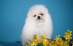 Картинка белый, цветы, щенок, шпиц