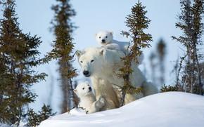 Картинка зима, снег, медвежата, белые медведи, медведица, материнство, полярные медведи