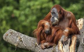 Картинка дерево, примат, орангутан
