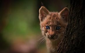 Картинка глаза, фон, дерево, рысь, детеныш, маленький хищник