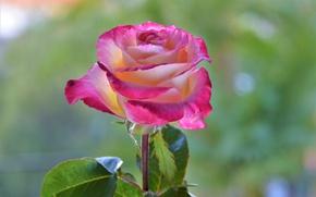 Картинка цветок, фон, роза, лепестки