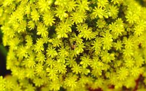 Картинка цветы, пчела, фон, желтые, размытость, желтые цветы, bee