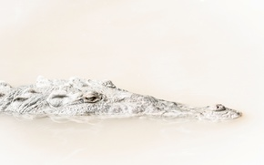 Картинка глаза, голова, крокодил, рептилия