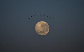 Картинка небо, птицы, ночь, птица, луна, moon, sky, bird, night, birds