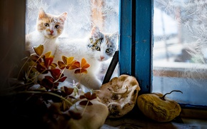 Обои зима, стекло, кошки, узоры, окно, котэ, за окном, два штуки, котэши