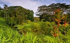Картинка зелень, деревья, тропики, пальмы, джунгли, Гавайи, США, кусты
