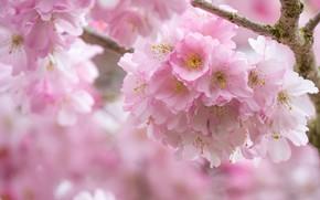 Картинка розовый, весна, сакура