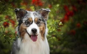 Картинка язык, взгляд, морда, собака, Австралийская овчарка, Аусси