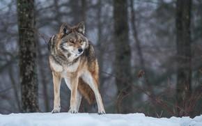 Картинка поза, волк, хищник, внимание, настороженность
