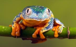 Картинка макро, природа, модель, лягушка, стебель, красотка, глазастая, разноцветная, зеленый фон, зрачки, фауна, акробатика, пятнистая, древолаз, …