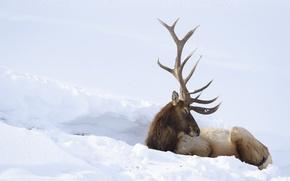 Картинка зима, снег, олень
