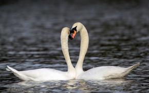 Картинка вода, пара, лебеди