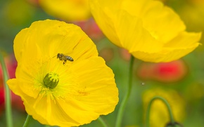 Картинка пчела, мак, лепестки, насекомое