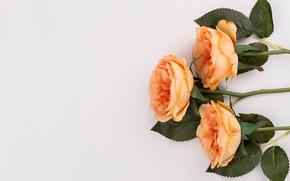 Картинка цветы, розы, букет, оранжевые, fresh, flowers, orange, roses, tender