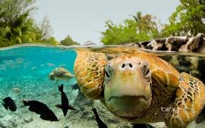 Картинка Бора-Бора, Французская Полинезия, зелёная черепаха