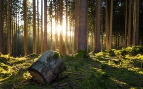 Картинка лес, деревья, мох, шишки, полено, лучики солнца