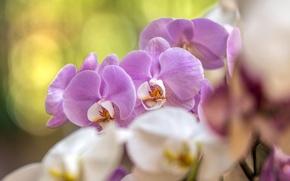 Картинка белый, макро, розовый, орхидея