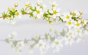 Картинка отражение, ветка, весна, лепестки, спирея