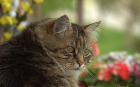 Обои кот, котофеич, котэ, серьёзный товарищ, мордашка, взгляд