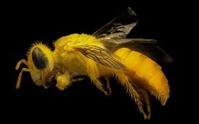 Картинка пчела, крылья, насекомое, жёлтая