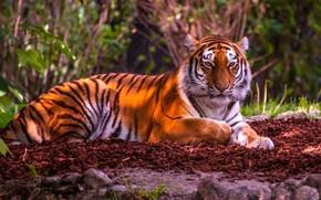 Обои тигр, красавец, дикая кошка