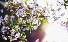 Картинка природа, весна, красота природы, цветы абрикоса