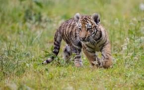 Картинка трава, мокрый, боке, тигрёнок