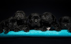 Картинка собаки, щенки, малыши, Кане-корсо