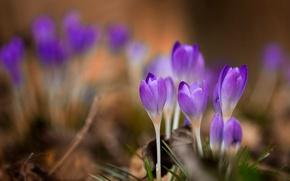 Картинка макро, цветы, весна, крокусы
