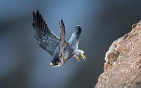 Картинка птицы, полёт, сокол, сапсан