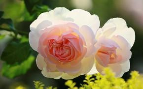 Картинка листья, нежные, две розы