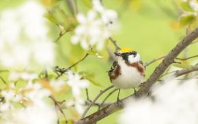 Картинка природа, птица, ветка, сад, желтошапочный лесной певун