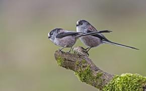 Картинка птицы, ветка, длиннохвостая синица