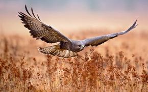 Обои поле, полет, птица, охота, Обыкновенный канюк