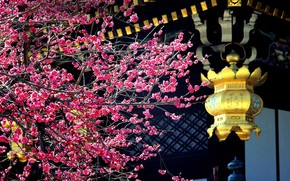 Картинка дерево, Япония, цветение, слива, Китано-Тэммангу