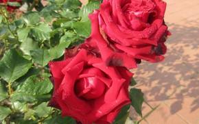 Картинка куст, розы, красные, Meduzanol ©