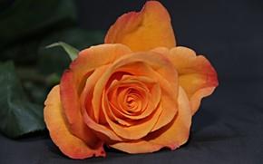 Картинка цветок, оранжевый, Роза, бутон
