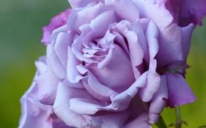 Картинка макро, роза, лепестки, сиреневая