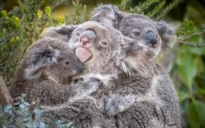 Картинка трио, коала, милые