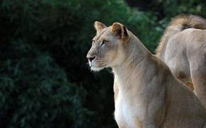 Картинка животное, шерсть, окрас, львица, дама