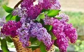 Картинка цветы, букет, Корзина, сирень