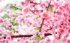 Картинка цветы, ветки, дерево, Природа, весна, цветение