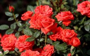 Картинка вода, капли, цветы, природа, розы