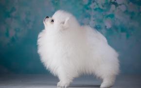 Обои профиль, щенок, белый, шпиц