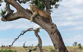 Обои хищник, ягуар, дерево
